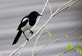 家門前初生之喜鵲羽翼已豐在練飛(與看官們分享喜悅):初飛喜鵲14.JPG