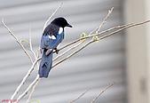 家門前初生之喜鵲羽翼已豐在練飛(與看官們分享喜悅):初飛喜鵲16.JPG