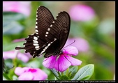 金門飛禽走獸花卉精華篇,其它散見於拍攝地點的相簿內。:金門飛禽走獸花卉精華篇17.jpg