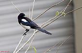 家門前初生之喜鵲羽翼已豐在練飛(與看官們分享喜悅):初飛喜鵲18.JPG