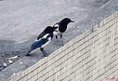 家門前初生之喜鵲羽翼已豐在練飛(與看官們分享喜悅):初飛喜鵲20.JPG