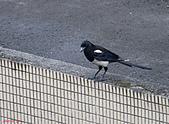 家門前初生之喜鵲羽翼已豐在練飛(與看官們分享喜悅):初飛喜鵲21.JPG