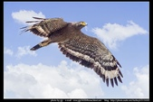 『Iron Han』(鋼鐵韓)雄鷹起飛,大冠鷲百變霸相精華版,編號102直擊大冠鷲的俯衝:大冠鷲017.jpg