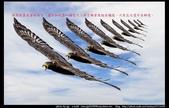 『Iron Han』(鋼鐵韓)雄鷹起飛,大冠鷲百變霸相精華版,編號102直擊大冠鷲的俯衝:大冠鷲109.jpg