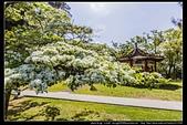 『石門水庫管理局』每逢四月一排平凡無奇的樹林,瞬間開闊的樹傘上積滿了白雪,是北台灣最美的流蘇花景點:石門水庫管理局10.jpg