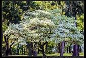『石門水庫管理局』每逢四月一排平凡無奇的樹林,瞬間開闊的樹傘上積滿了白雪,是北台灣最美的流蘇花景點:石門水庫管理局12.jpg