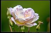 苗栗縣頭屋鄉『雅聞七里香玫瑰森林』,浪漫歐式玫瑰花園、香氛步道美到讓人無法忘懷:雅聞七里香玫瑰森林66.jpg
