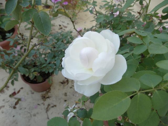 DSC04250.JPG - 玫瑰