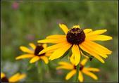 菊花:黑心菊Rudbeckia hirta
