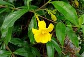 藤蔓植物:重瓣黃蟬 Allamanda cathartica 'Stanstill's Double'