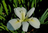 球根花卉:路易斯安那鳶尾 Iris × louisiana hybrid 'Clara Goula'