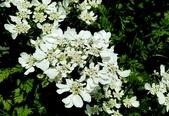 草花植物:芫荽 Coriandrum sativum Linn