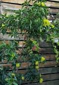 木本花卉:黃金蒲桃 Xanthostemon chrysanthus