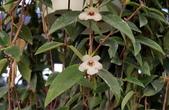 草花植物:玉唇花Codonanthe crassifolia