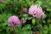 草花植物:紅三葉草 Trifolium pratense