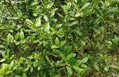 木本花卉:英國冬青 Ilex aquifolium 'J. C. van Tol'
