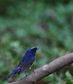 鳥類攝影:棕腹大仙鶲Niltava davidi