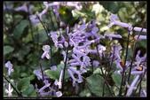 草花植物:紫鳳凰