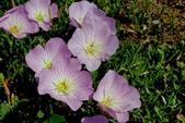 草花植物:夕化粧 Oenothera rosea