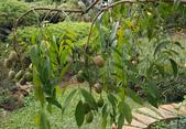 木本花卉:太平洋榅桲Spondias cythera Sonn