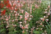 草花植物:粉紅花鼠尾草