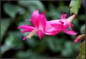多肉植物:螃蟹蘭Zygocactus truncatus