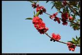 木本花卉:桃花Prunus persica cv. 'Camelliaeflora'
