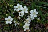高山植物:梅花草 Parnassia palustris L.