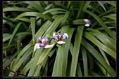 草花植物:巴西鳶尾Neomarica gracilis