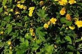 菊花:野菊花 Dendranthema indicum