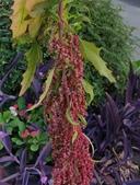 植物果實:紅藜麥 Chenopodium quinoa