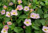 草花植物:赤道櫻草Asystasia gangetica subsp. gangetica (L.) T. Anderson