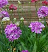 草花植物:海石竹 Armeria maritima
