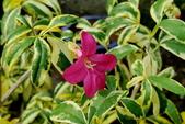木本花卉:斑葉古巴拉貝木