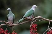 鳥類攝影:小綠鳩 Ptilinopus leclancheri