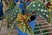 草花植物:銀點秋海棠