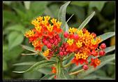 草花植物:馬利筋 Asclepias curassavica