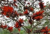 木本花卉:刺桐 Erythrina variegata Linn.