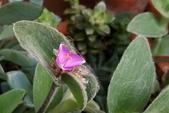 觀葉植物:雪絹 Tradescantia sillamontana Matuda