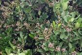 木本花卉:紅花石斑木  Rhaphiolepis indica ‵Enchantress′