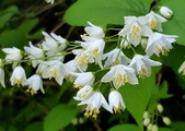 木本花卉:小溲疏 Deutzia crenata'Nikko'