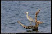 鳥類攝影:蒼鷺