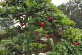 木本花卉:大果黃褥花Malpighia glabra L