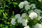 木本花卉:重瓣麻球 Spiraea cantoniensis Lour
