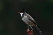 鳥類攝影:紅耳鵯 Pycnonotus jocosus