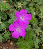 精彩圖片:紅花老鸛草Geranium sanguineum