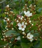 木本花卉:厚葉石斑木 Rhaphiolepis umbellata