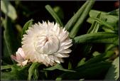 菊花:麥桿菊  Helipterum bracteatum