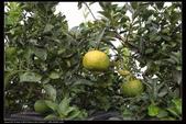 植物果實:虎頭柑