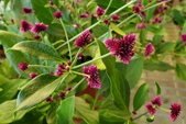 草花植物:迷你千日紅 Alternanthera porrigens 'Senniti-kobo'